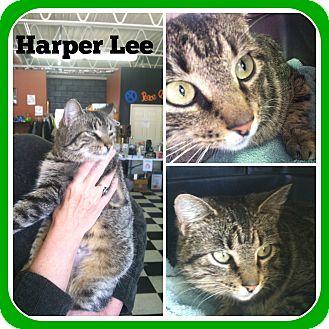 Domestic Mediumhair Cat for adoption in Malvern, Arkansas - HARPER LEE