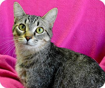 Domestic Shorthair Cat for adoption in South Haven, Michigan - Tiger