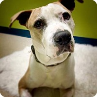 Adopt A Pet :: Little Boy Blue - Issaquah, WA