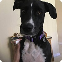 Adopt A Pet :: Zila (courtesy listing) - Homestead, FL