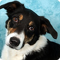 Border Collie Mix Dog for adoption in St. Louis, Missouri - Lucky BC