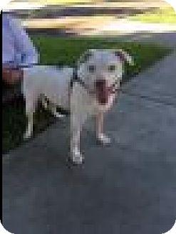 Beagle/American Bulldog Mix Dog for adoption in Beverly Hills, California - Cupcake - Courtesy Post