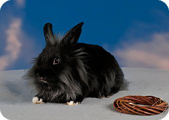 Lionhead Mix for adoption in Marietta, Georgia - Farris
