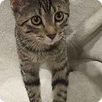 Domestic Shorthair Kitten for adoption in Naperville, Illinois - Thelma-6  MONTHS - NOW $125