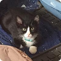 Adopt A Pet :: Simpson - Colorado Springs, CO