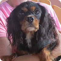 Adopt A Pet :: Ivy - Westport, CT