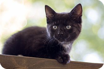 Domestic Shorthair Kitten for adoption in Huntington, West Virginia - Blynken