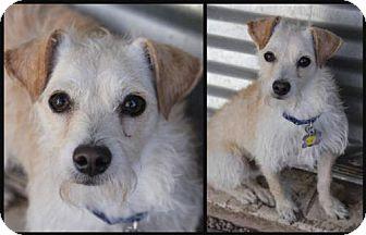 Cairn Terrier Mix Dog for adoption in Phoenix, Arizona - Jack