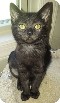 Domestic Shorthair Kitten for adoption in Duluth, Georgia - Katia