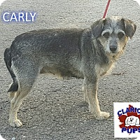 Adopt A Pet :: CARLY - Strattanville, PA