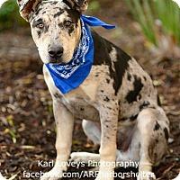 Catahoula Leopard Dog/Pit Bull Terrier Mix Puppy for adoption in Redondo Beach, California - Taji-ADOPT Me!
