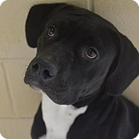 Adopt A Pet :: Big Boy - New Braunfels, TX