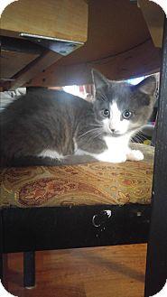 Domestic Shorthair Kitten for adoption in Baltimore, Maryland - Hazel