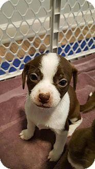 Pug Mix Puppy for adoption in Denver, Colorado - Sparrow