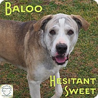 Adopt A Pet :: Baloo - Washburn, MO