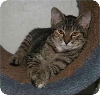 Domestic Shorthair Cat for adoption in La Mesa, California - Baby