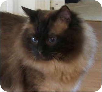 Ragdoll Cat for adoption in Keizer, Oregon - Solly