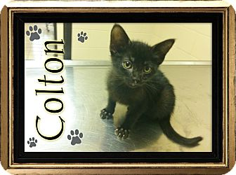 Domestic Shorthair Kitten for adoption in Washington, D.C. - Colton