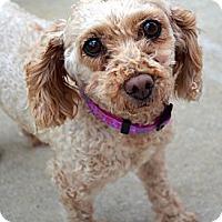Adopt A Pet :: Duchess - Bridgeton, MO
