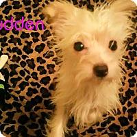 Adopt A Pet :: Pudden - House Springs, MO