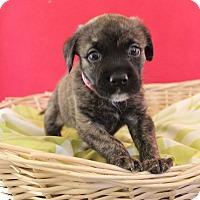 Adopt A Pet :: Brownee - Waldorf, MD
