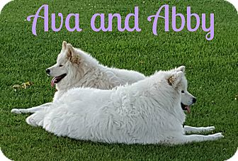 Samoyed Dog for adoption in Valley City, North Dakota - Ava & Abby (Courtesy Listing)