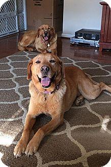 Labrador Retriever Dog for adoption in Yorktown, Virginia - Star & Comet