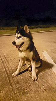Siberian Husky Dog for adoption in Sugar Land, Texas - Sarai