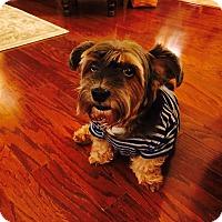 Adopt A Pet :: Bentley - Las Vegas, NV