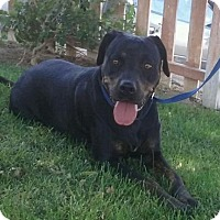 Rottweiler/Labrador Retriever Mix Dog for adoption in Dana Point, California - Baby Girl