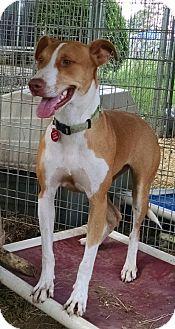 Labrador Retriever Mix Dog for adoption in Cat Spring, Texas - Laney