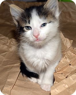 Domestic Mediumhair Kitten for adoption in Dallas, Texas - KIM