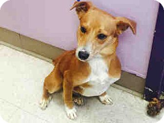 Terrier (Unknown Type, Medium) Mix Puppy for adoption in Morgan Hill, California - Hooper