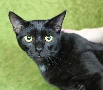 Domestic Shorthair Cat for adoption in Raleigh, North Carolina - Hulu