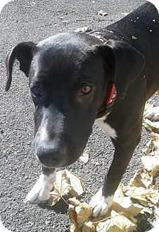 Labrador Retriever Mix Puppy for adoption in Lyndhurst, New Jersey - GLENN