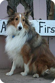 Sheltie, Shetland Sheepdog Dog for adoption in Sioux Falls, South Dakota - Korkie