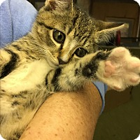 Adopt A Pet :: Holly - Butner, NC