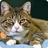 Domestic Shorthair Cat for adoption in Madison, New Jersey - Bubba