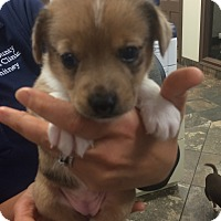 Jack Russell Terrier Mix Puppy for adoption in Russellville, Kentucky - Joy