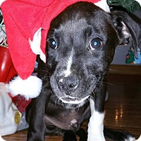 Adopt A Pet :: Dasher - Lake In The Hills, IL