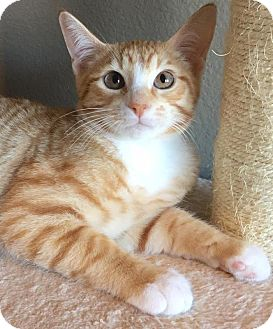 Domestic Shorthair Kitten for adoption in Fort Worth, Texas - Carmine