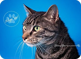 Domestic Shorthair Cat for adoption in Mt. Clemens, Michigan - Iverson