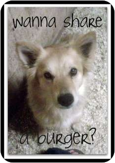Eskimo Spitz Mix Dog for adoption in Gilbert, Arizona - RODEO