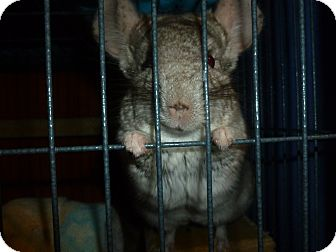 Chinchilla for adoption in Jacksonville, Florida - Turbo