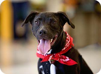 Labrador Retriever/American Staffordshire Terrier Mix Dog for adoption in Dallas, Texas - Dash