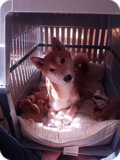 Shiba Inu Dog for adoption in Manassas, Virginia - Senshi