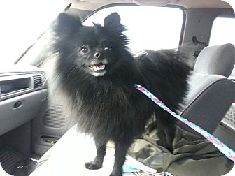 Pomeranian Dog for adoption in Las Vegas, Nevada - Ladybug