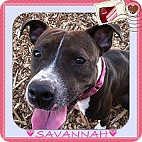 American Pit Bull Terrier Mix Dog for adoption in Dennis, Massachusetts - SAVANNAH