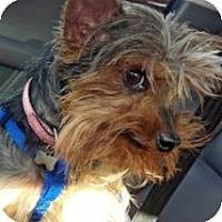 Adopt A Pet :: Tilly - Fayetteville, AR
