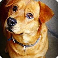 Adopt A Pet :: Jacob - Casa Grande, AZ